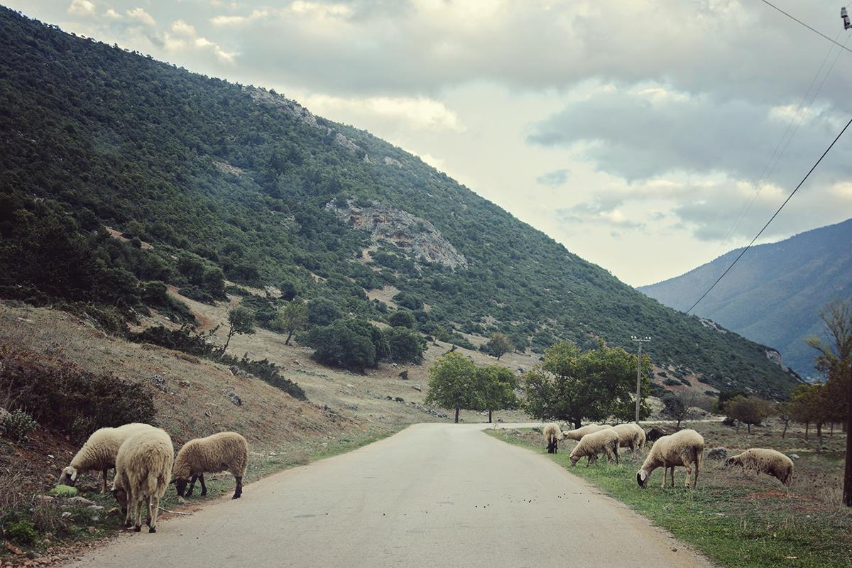 owce na drodze w gorach